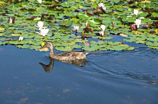 Premstatten, Austria: Ente im Lotusteich