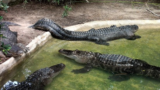 Ellen Trout Zoo: Alligators