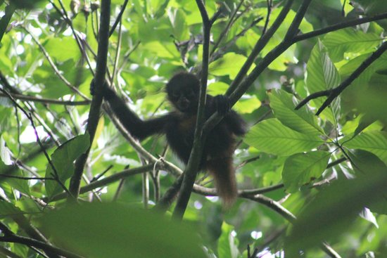 Lookout Inn Lodge: Spider Monkey