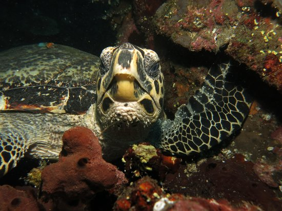 Bali Reef Divers: turtle looking piss at the tourist...again