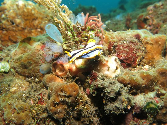 Bali Reef Divers: another amazing nudibranch