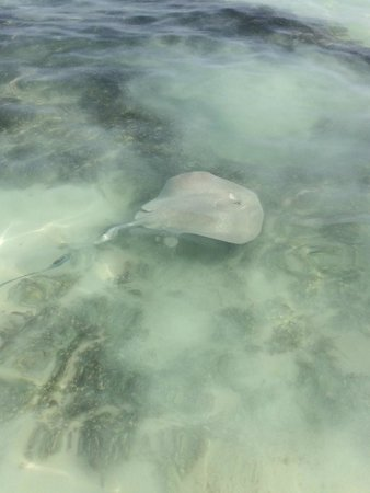Barcelo Maya Tropical: sting ray at shallow end of beach