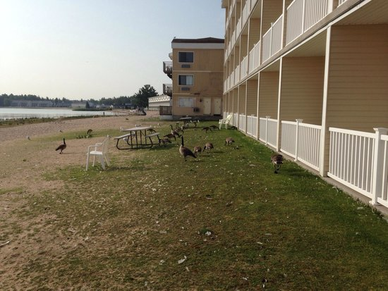 Mackinaw Beach and Bay - Inn & Suites: Geese outside by balconies