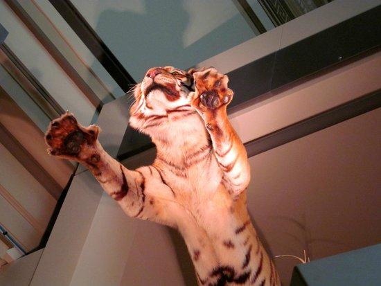 Museo Nacional Smithsonian de Historia Natural: A Tiger