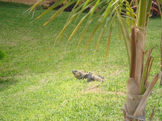 Barcelo Maya Tropical : le iguane k si aggira nella struttura