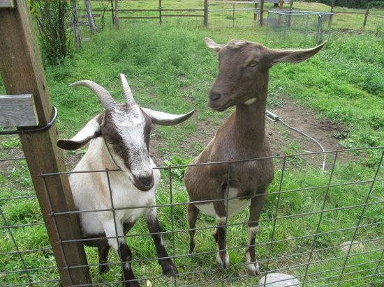 The Cabins at Beaver Creek: goat friends
