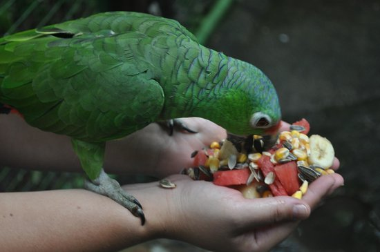 Proyecto Asis: Feeding the parrots in their cage