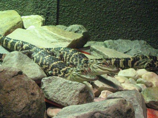 Museum of Life + Science: alligators