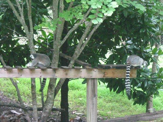 Museum of Life + Science: lemurs