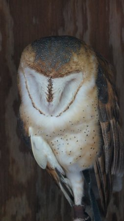 Land Between the Lakes National Recreation Area: Barn Owl