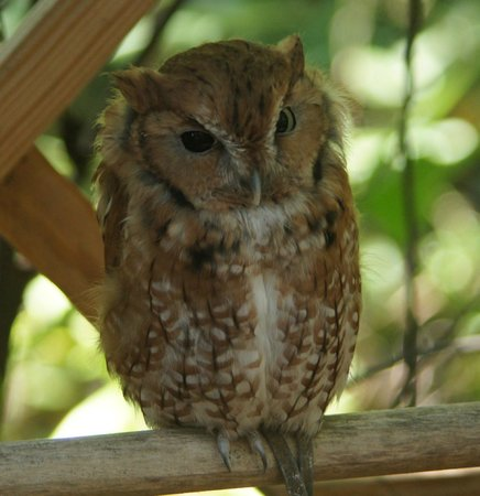 Land Between the Lakes National Recreation Area: Screech Owl