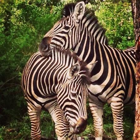 Kwa Madwala Private Game Reserve: zebra love