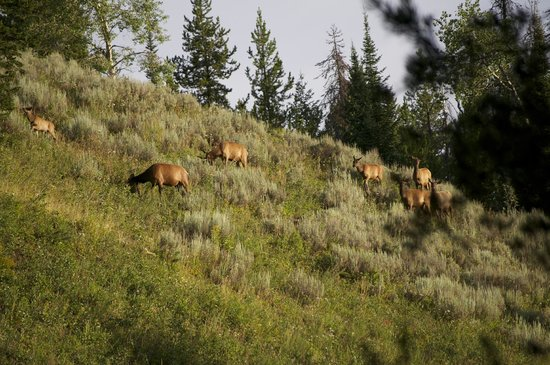 Jackson Hole Eco Tour Adventures: Elk eating breakfast!