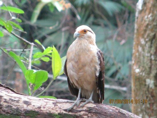 Cerro Ancón: some kind of hawk