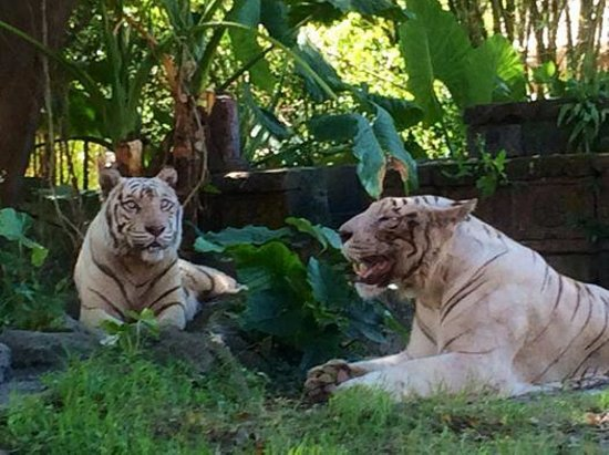 Bali Safari & Marine Park: Beautifull White Tigers , Have a photo taken with one .