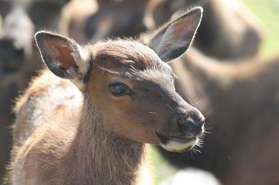 Alaska Wildlife Conservation Center: A baby elk.  Did you know they squeak?