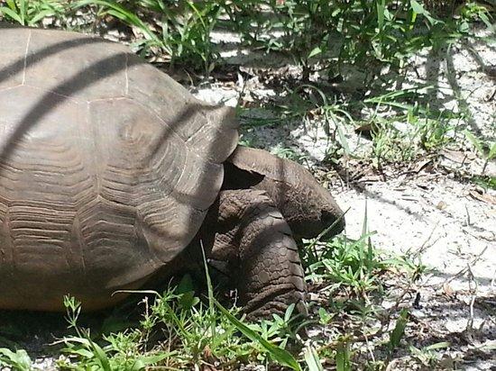 Koreshan State Historic Site: Giant Gopher Tortoise in Koreshan state park.