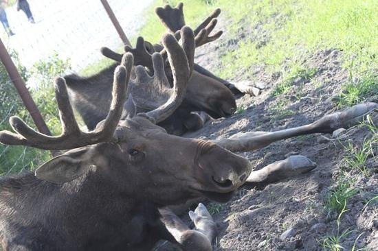 Alaska Wildlife Conservation Center: Moose buddies lying in the shade.