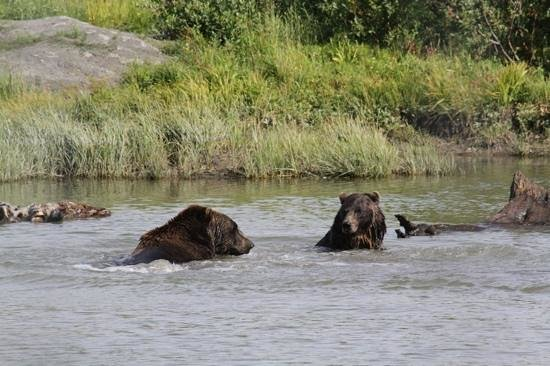 Alaska Wildlife Conservation Center: Play time in the bear pond.
