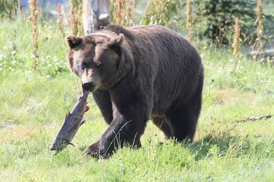 Alaska Wildlife Conservation Center: Dinner time!