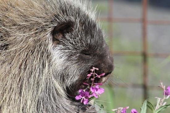 Alaska Wildlife Conservation Center: Snickers was loving the fireweed.