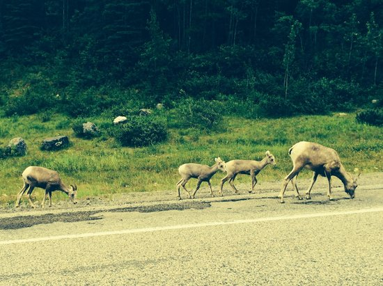 Upper Kananaskis Lake: More wildlife during our drive in to Upper Lake