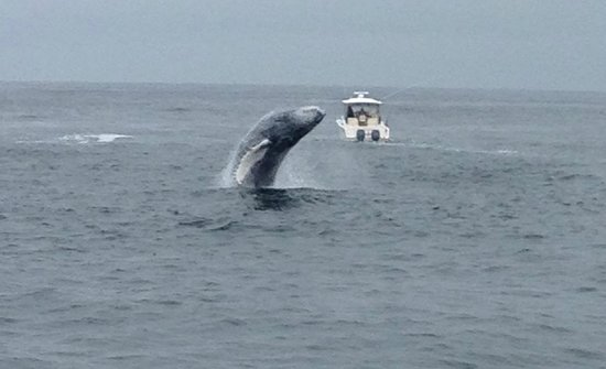 Hyannis Whale Watcher Cruises: Breaching Baby Humpback