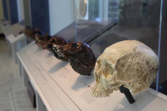 Natural History Museum of Los Angeles County: Skull casts in the hominid exhibit