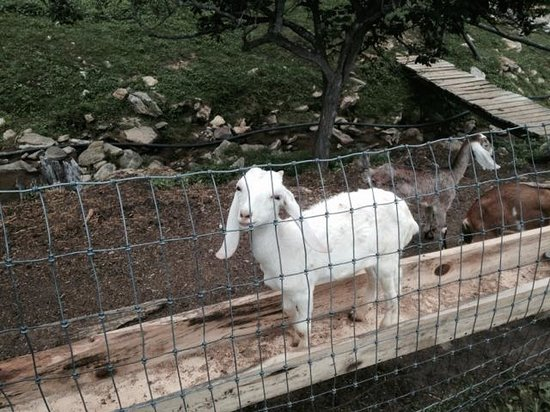 Randall Glen Resort: A Goat who was human in previous life.
