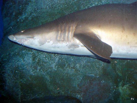 Dubai Aquarium & Underwater Zoo: Shark