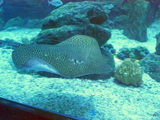Dubai Aquarium & Underwater Zoo: Leopard Ray