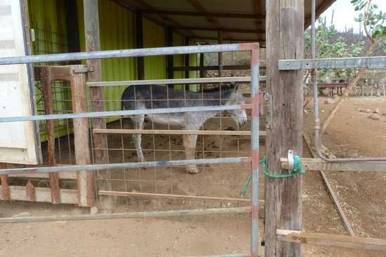 Donkey Sanctuary Aruba : This guy was rescued with a broken leg.