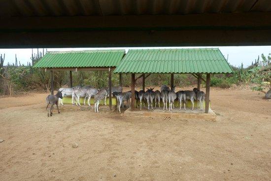 Donkey Sanctuary Aruba : The Donkey Eating