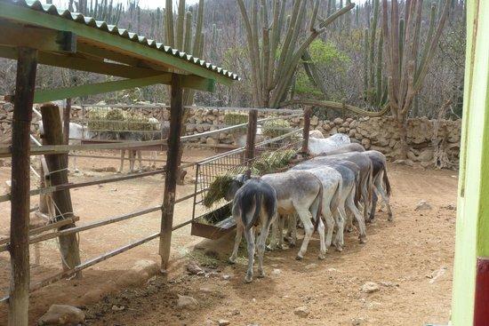 Donkey Sanctuary Aruba : Loving the hay