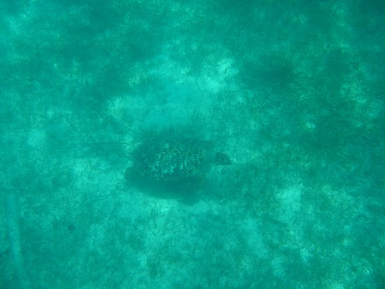 Caicos Dream Tours: sea turtle