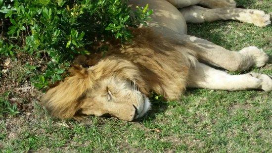 Amani Mara Camp: A lion in the park