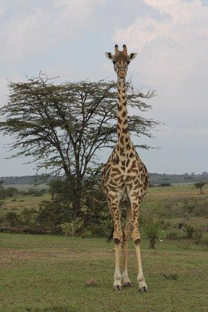 Mara Bush Houses, Asilia Africa : Giraffe