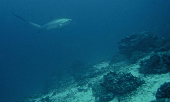 Thresher Shark Divers: Thresher Shark at Monad Shoal
