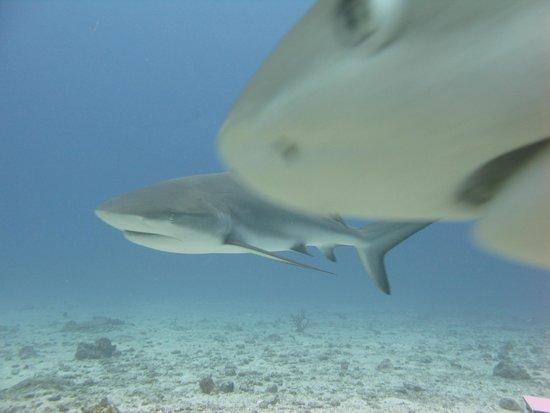 Ocean Explorers Dive Center: Quick picture of Caribbean Reef Shark taken by me!
