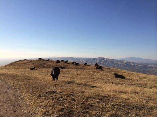 Mission Peak Regional Preserve: passinf cows along the trail