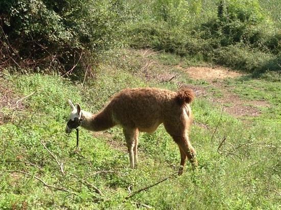 Maison Lespoune : machu le lama