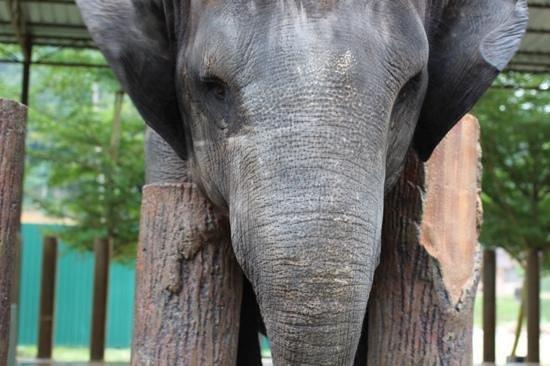 Kuala Gandah Elephant Sanctuary: elephants were wonderfuland very gentle