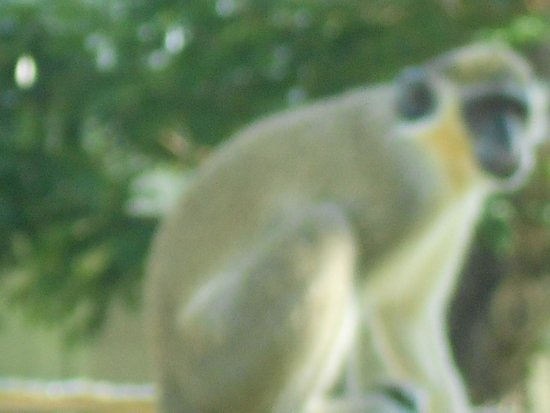 Savannah Beach Hotel: monkey at hotel