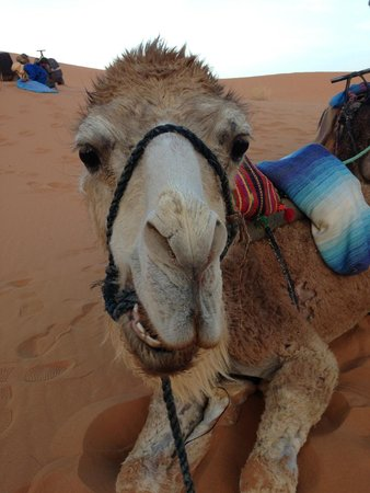 Merzouga Desert : ラクダ君