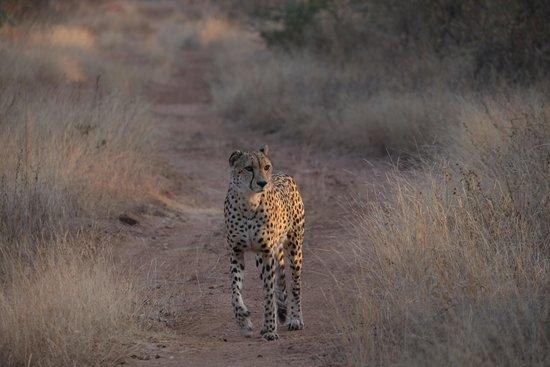 Felleng Day Tours : Cheetah