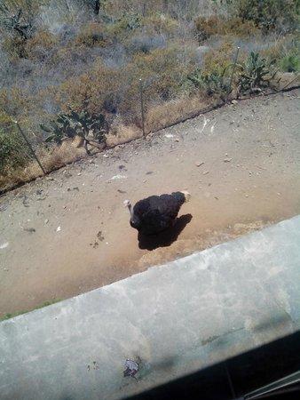 La Muralla : Nuestro amigo el avestruz.