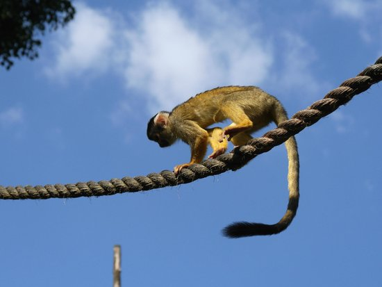 ZSL London Zoo: Monkeys playing rope tricks