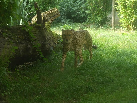 ZSL London Zoo: Cheetah's on the prowl