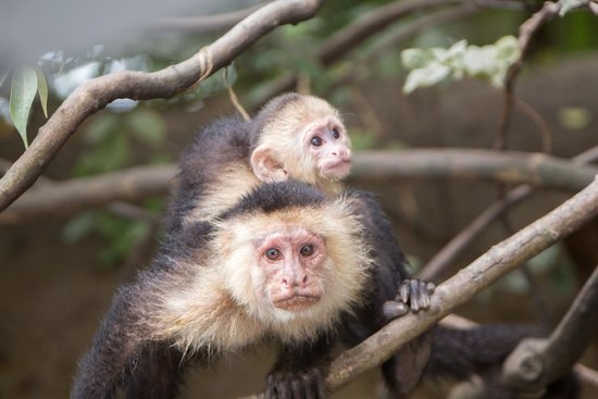 Palo Verde Boat Tours: capuchin mom and baby