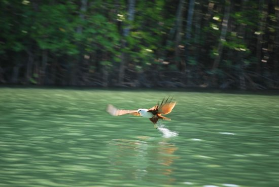 Kilim Karst Geoforest Park: A white-bellied Brahmini eagle swooping down to catch its prey